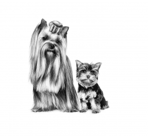 YORKSHIRE_TERRIER_PUPPY___MOTHER_-_BREED_EMBLEMATIC_Med._Res.___Basic